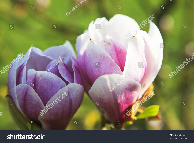 Spring London Magnolia Leonard Messel Pink Stock Shutterstock