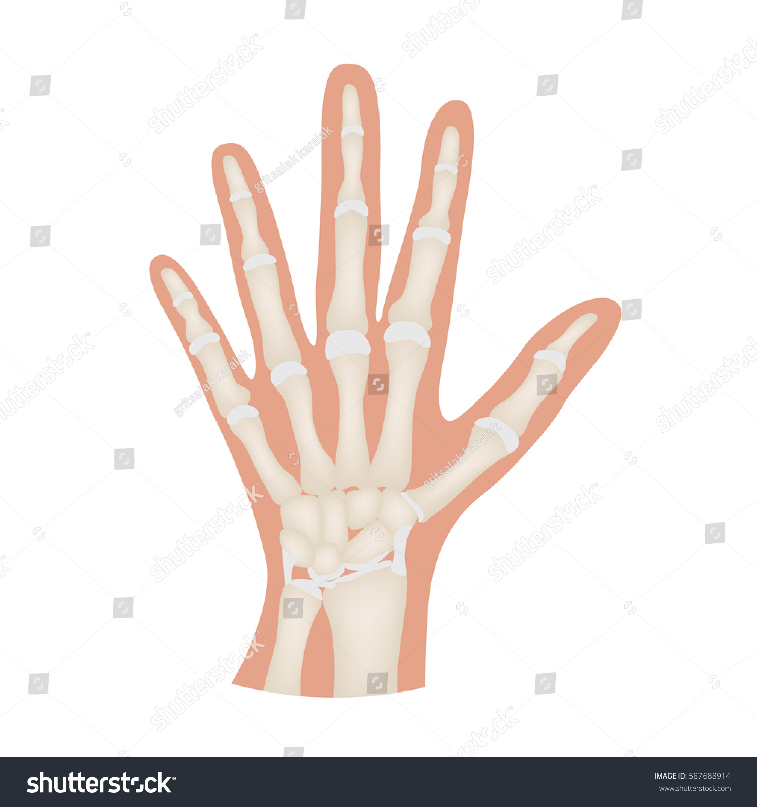 Hand Bone Anatomy Vector Stock Vector (Royalty Free) 587688914 ...