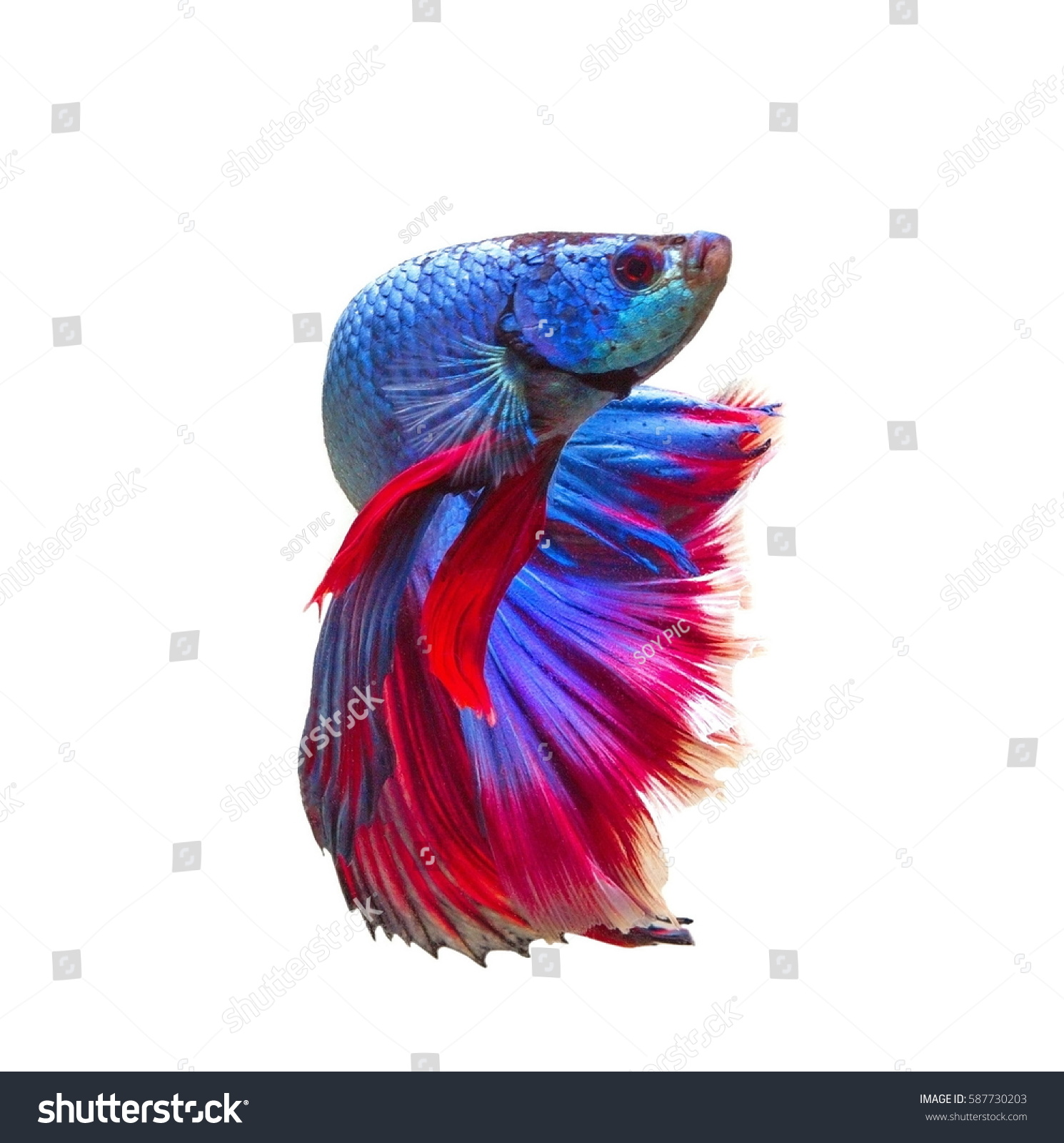 siamese fighting fish coloring pages - siamese fighting fish stock photo 587730203 shutterstock