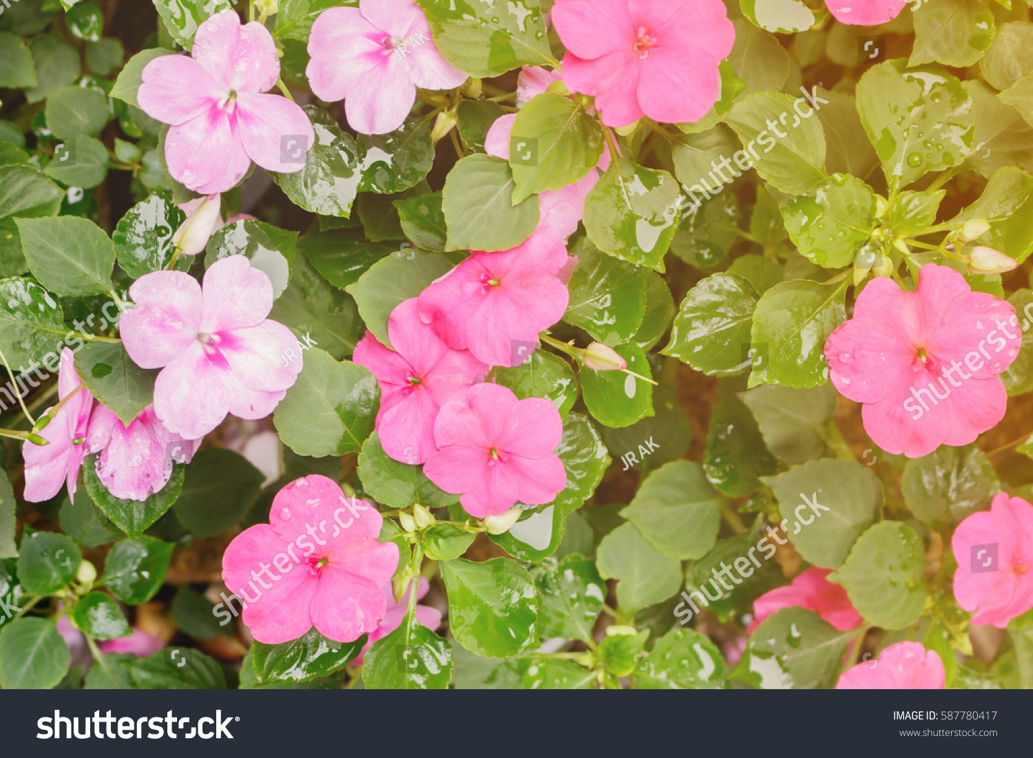 Pink flower name impatiens popularity gardening stock photo pink flower name is impatiens popularity of gardening making light soft and blur mightylinksfo