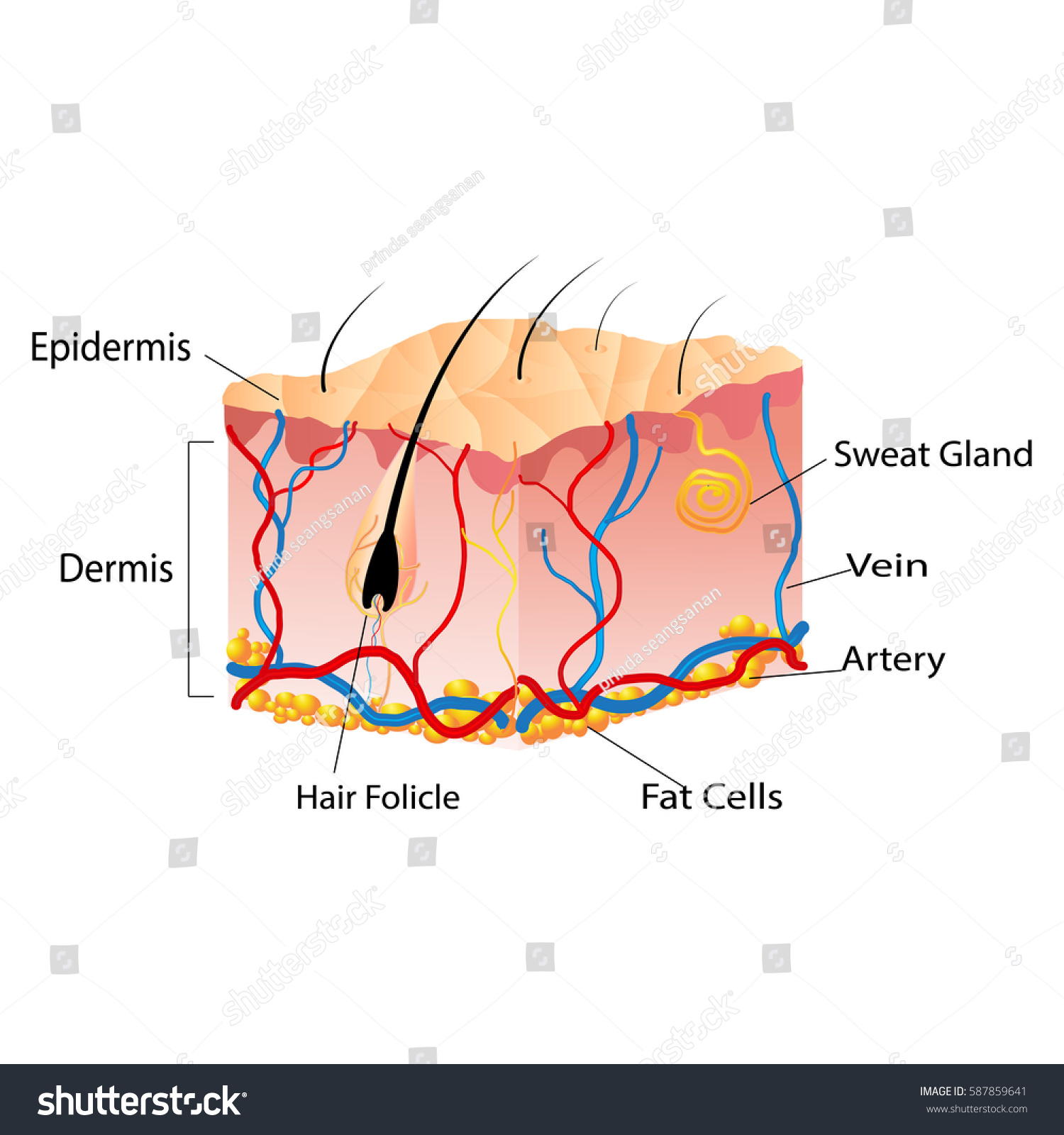 Structure Skin Cells Under Skin Show Stock Vector (Royalty Free ...