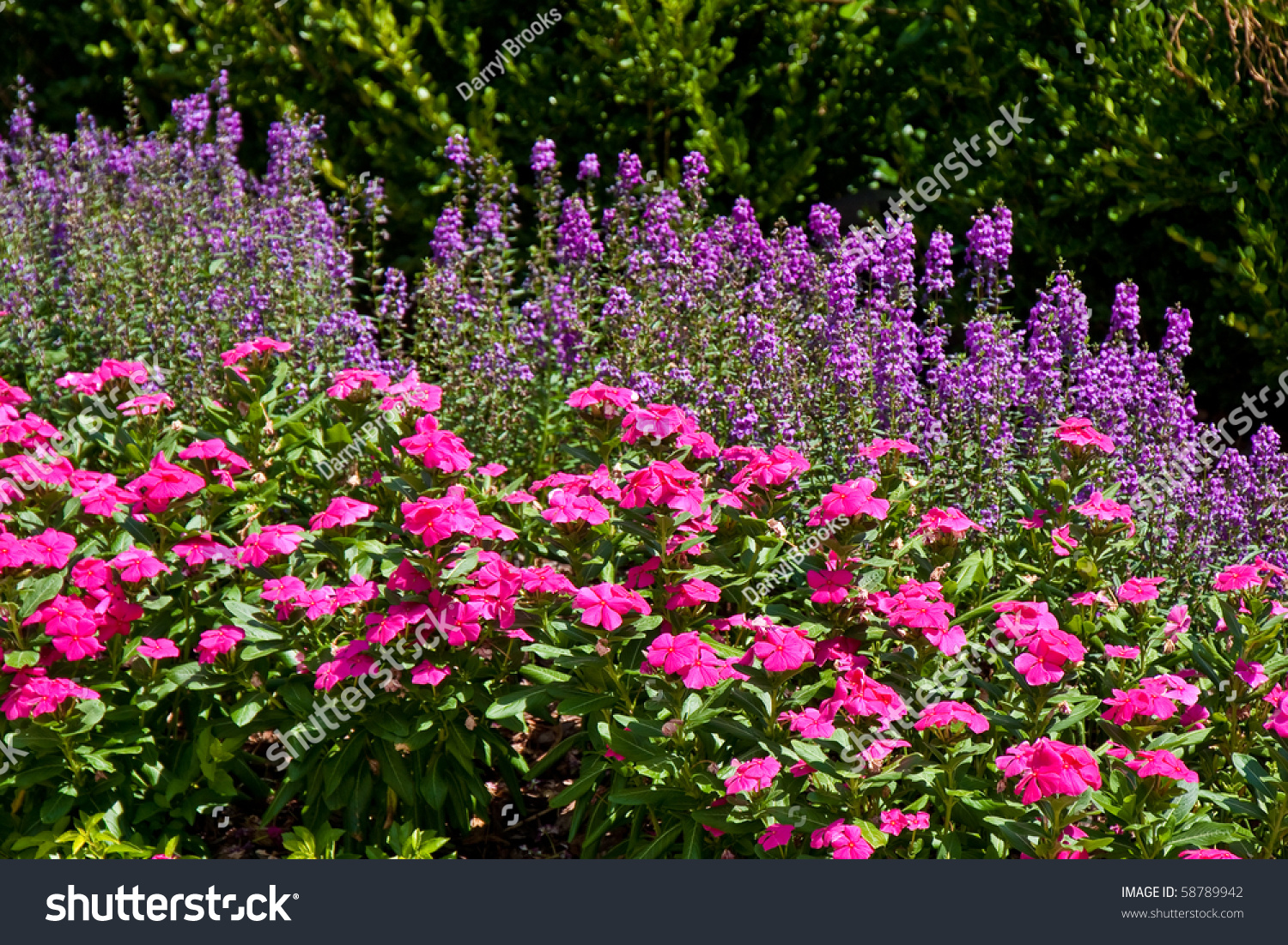 Formal garden planted pink purple flowers stock photo 58789942 shutterstock - Flowers planted may complete garden ...