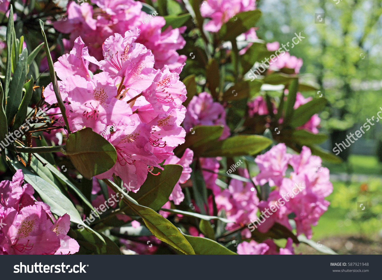 Flowering Branch Of Rhododendron In The Spring Garden Pink Azalea