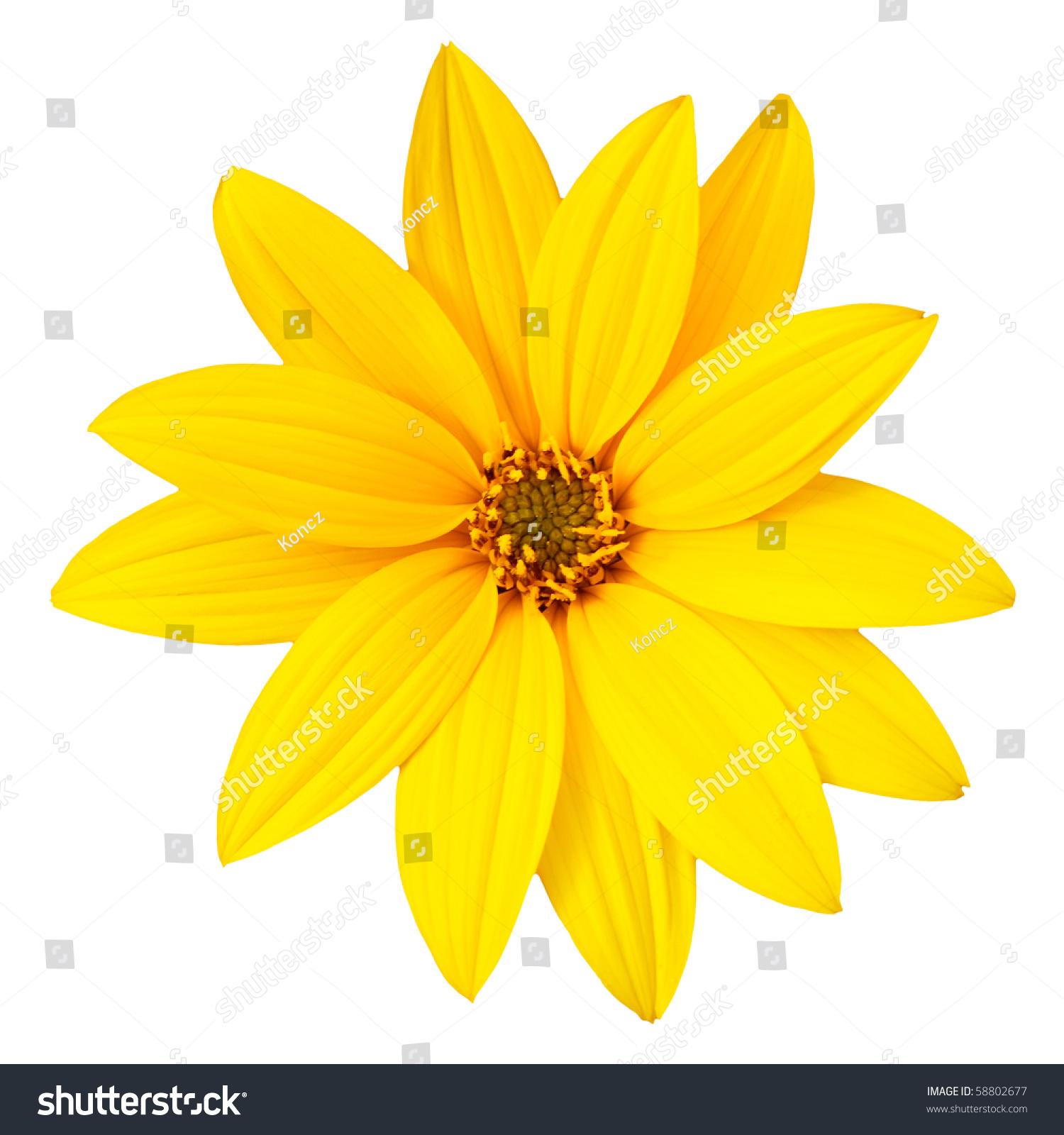 Yellow Flower Isolated On White Background Stock Photo ...