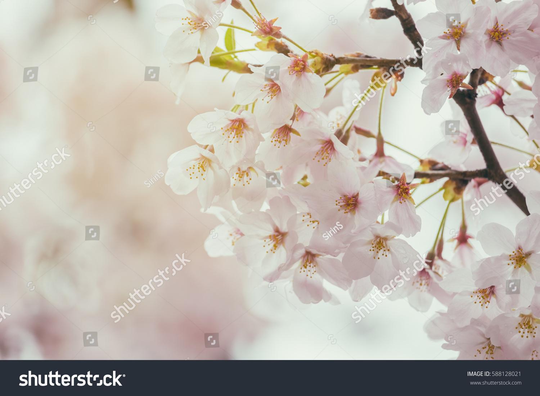 Sakura Cherry Blossom Flower Full Bloom Stock Photo Edit Now