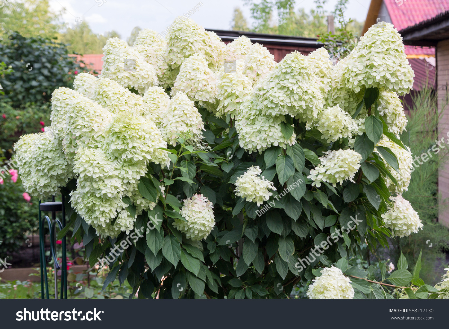 Hydrangea Bush Large White Caps Flowers Stock Photo Edit Now