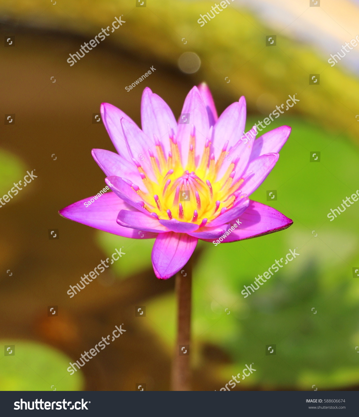 Small purple lotus pond isolated small stock photo royalty free a small purple lotus in a pond isolated a small lotus flower izmirmasajfo
