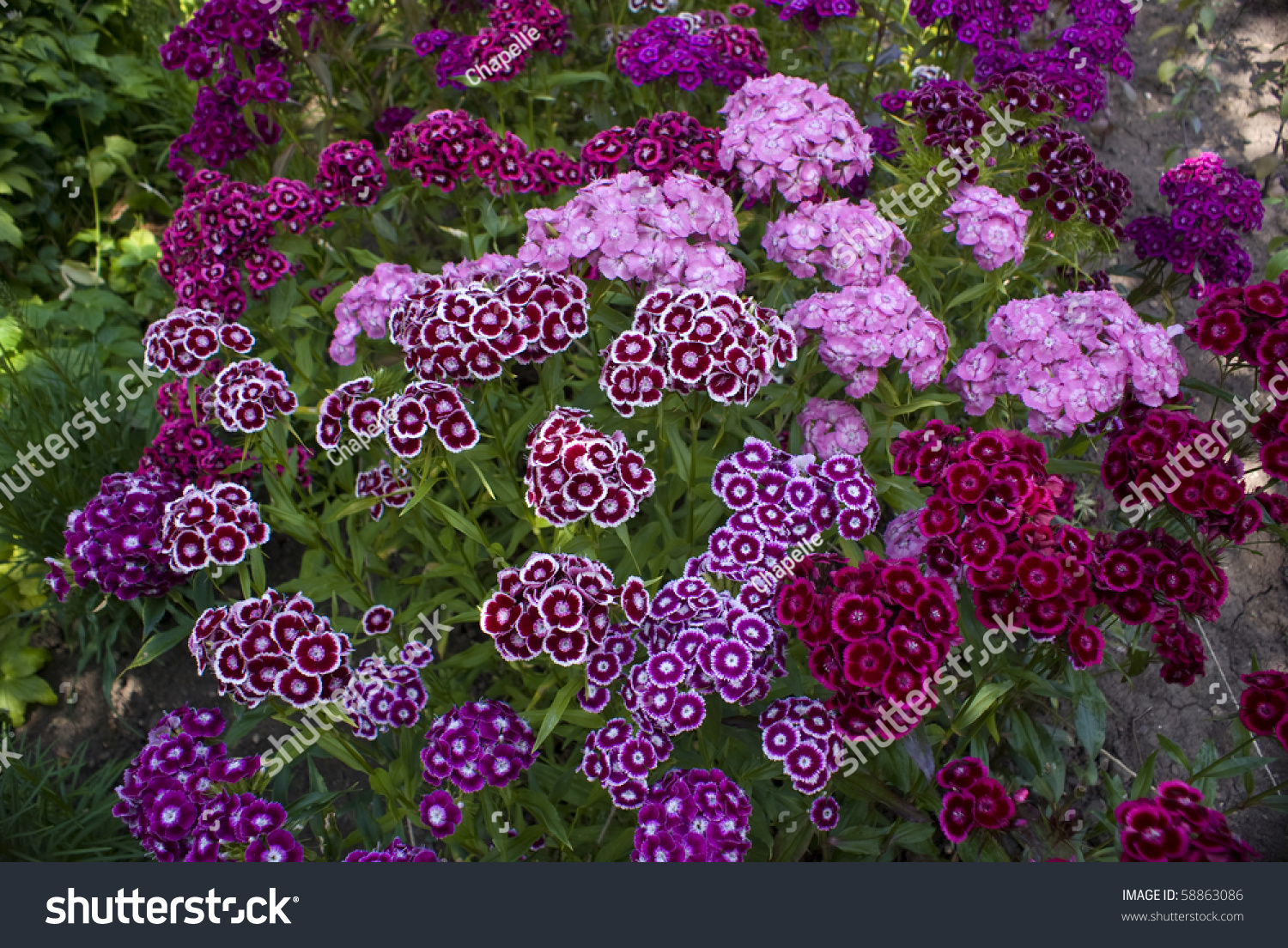 Sweet William Flowers In Shades Pink Red Crimson Stock S