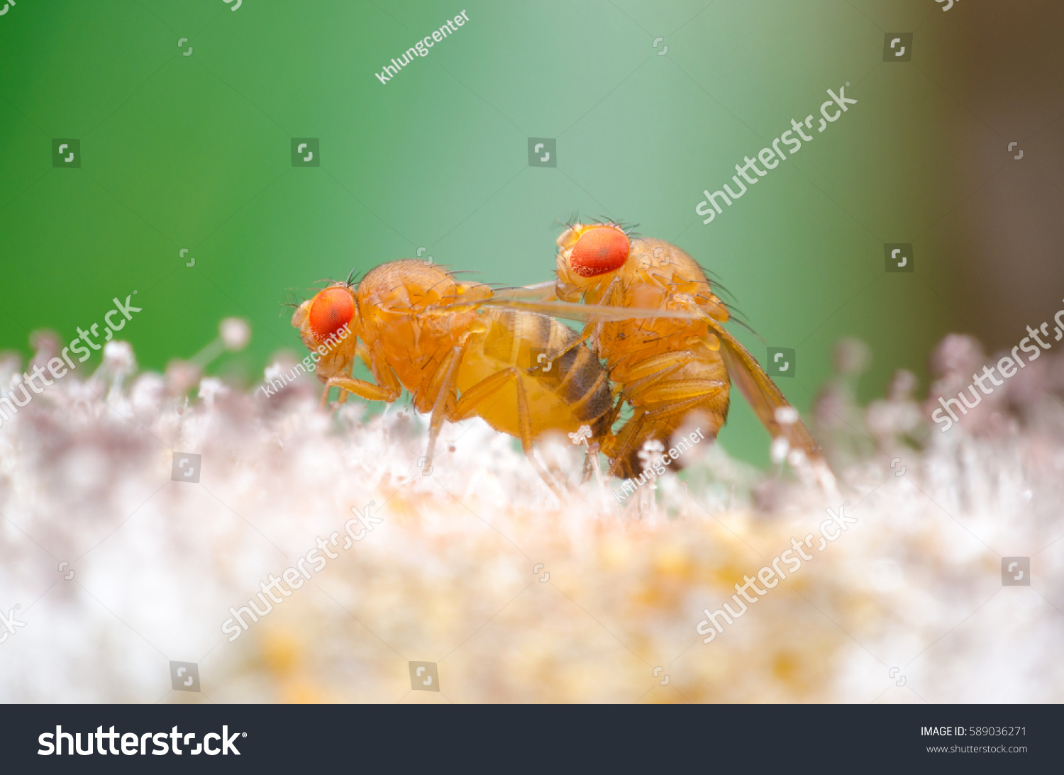 Super Macro Fruit Fly Drosophila Mating Stock Photo (Edit Now ...