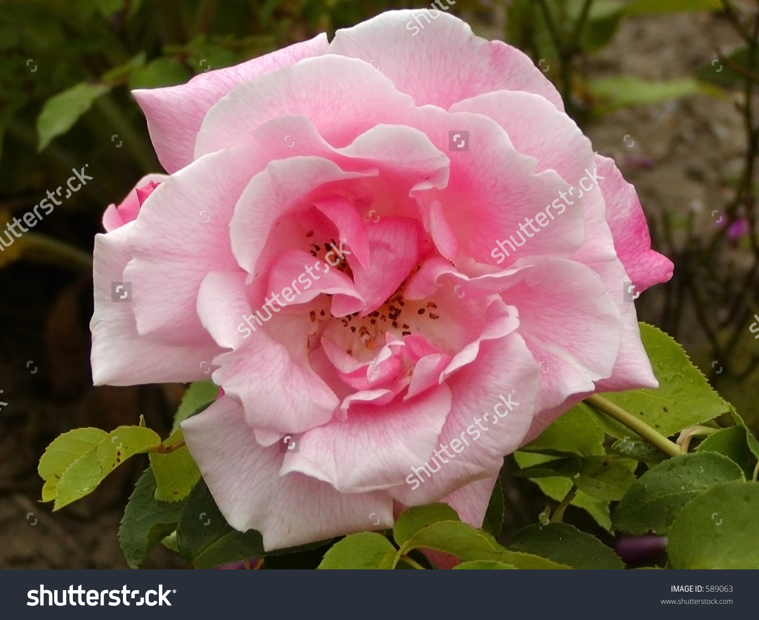 A Nice Pink Flower Stock Photo 589063 : Shutterstock