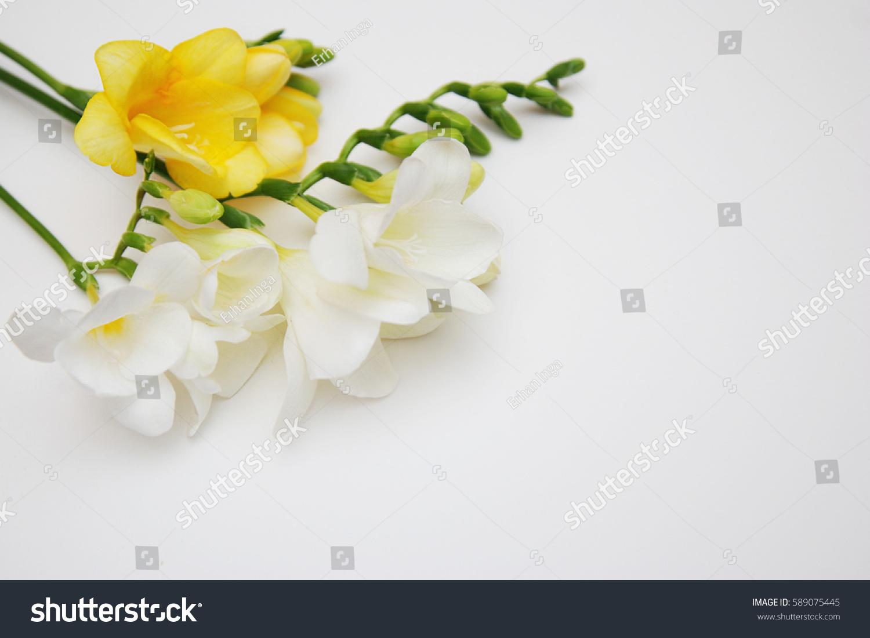 Freesia Flowers White Yellow On White Stock Photo 589075445