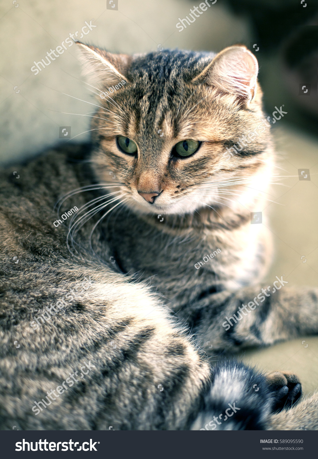 97837a30dd Cat Home Striped Spotted Tabby Stock Photo (Edit Now) 589095590 ...