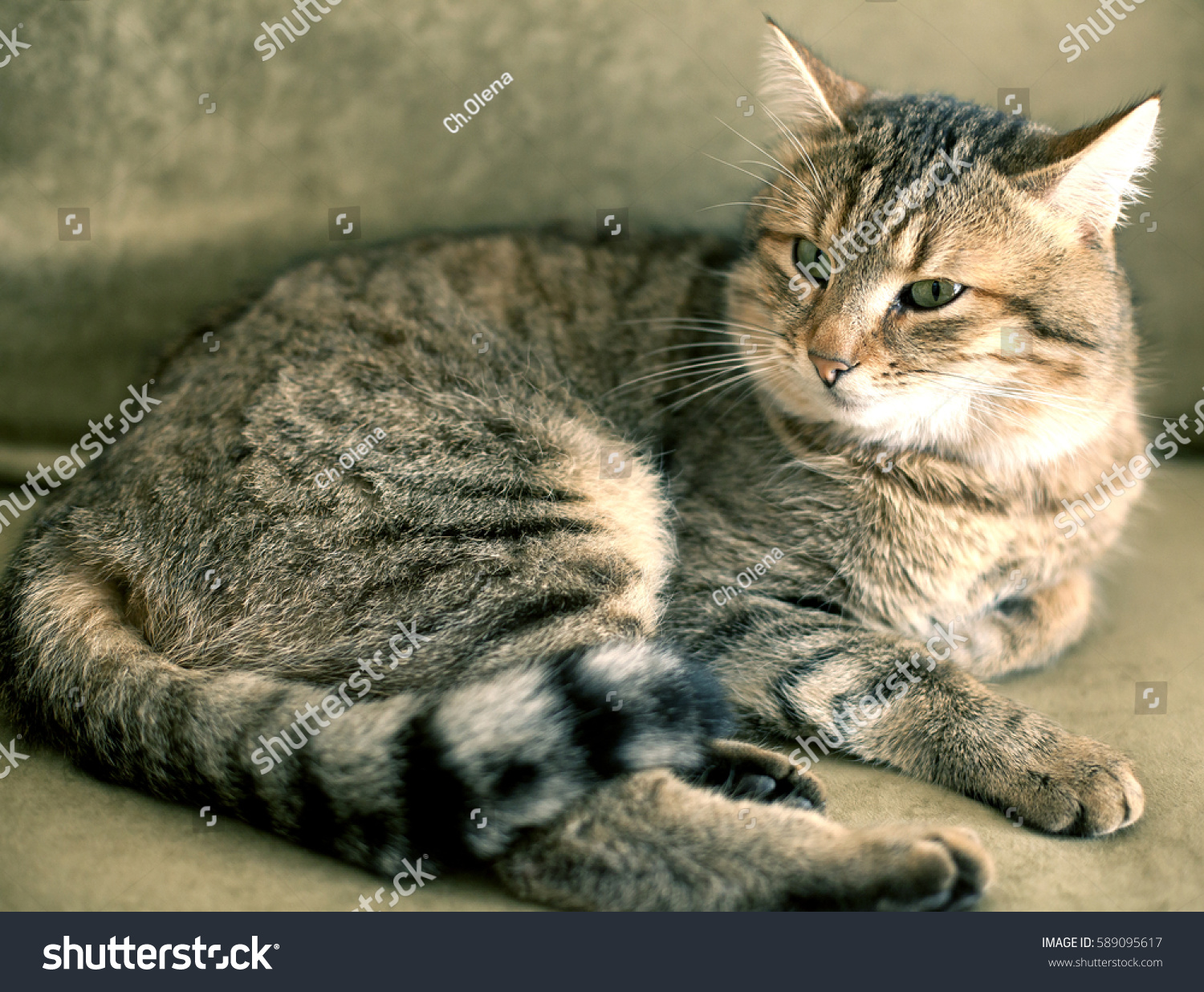 33440d6460 Cat Home Striped Spotted Tabby Stock Photo (Edit Now) 589095617 ...