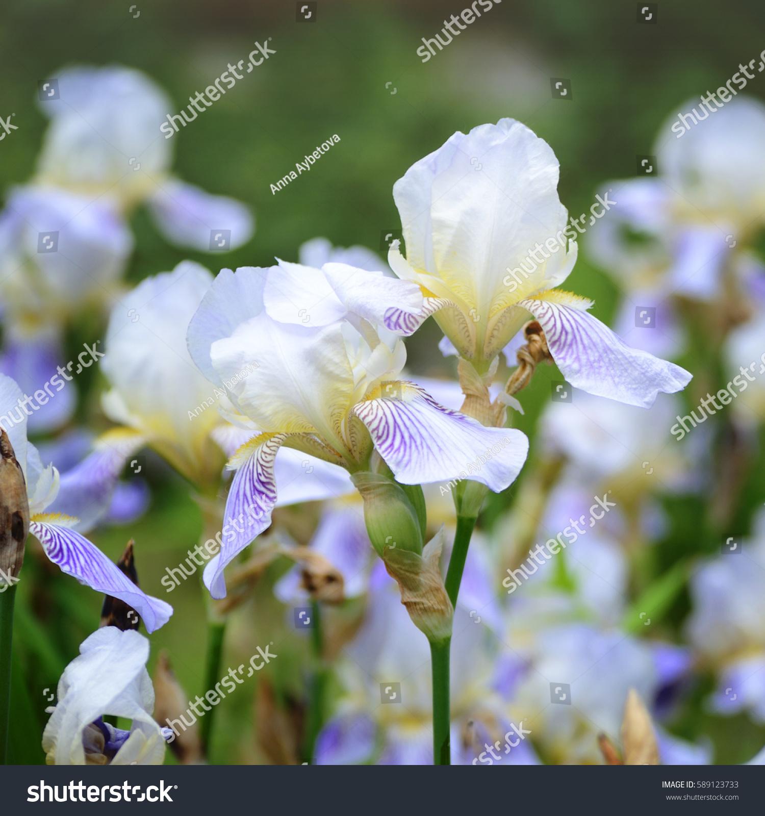 Gorgeous purple iris flower garden spring stock photo royalty free gorgeous purple iris flower in the garden spring floral background izmirmasajfo