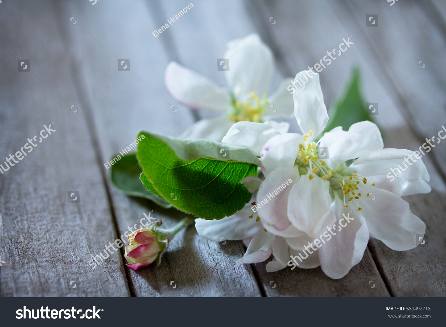 Spring Background Beautiful Fresh White Flowers Of Apple Tree On A