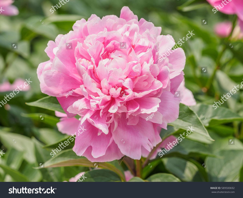 Summer Flowers Series Beautiful Pink Peony Flowers In Garden Ez