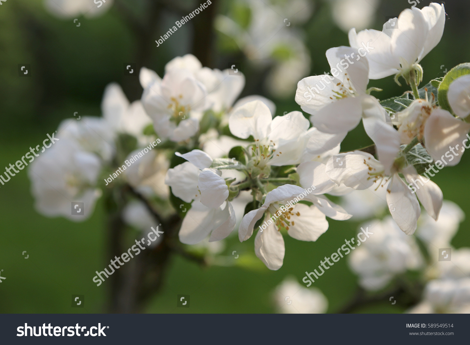 Big Flowers White With Pinkish Shade On Branches Of The Apple