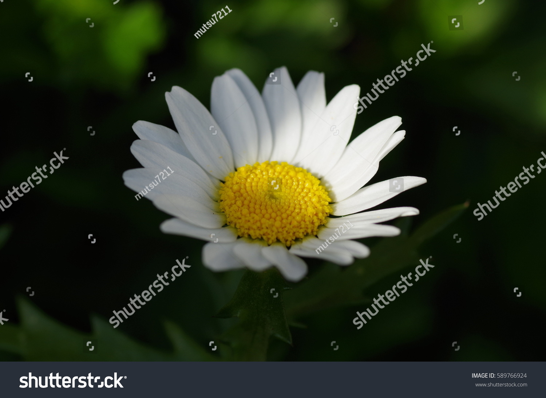 Royalty Free Swamp Chrysanthemum 589766924 Stock Photo Avopix