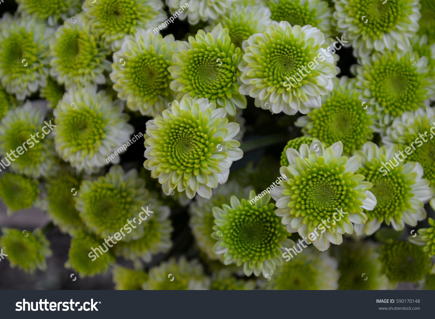 These green white flowers called chrysanthemum stock photo edit now these are green and white flowers called chrysanthemum or florists mun or mums flowers and mightylinksfo