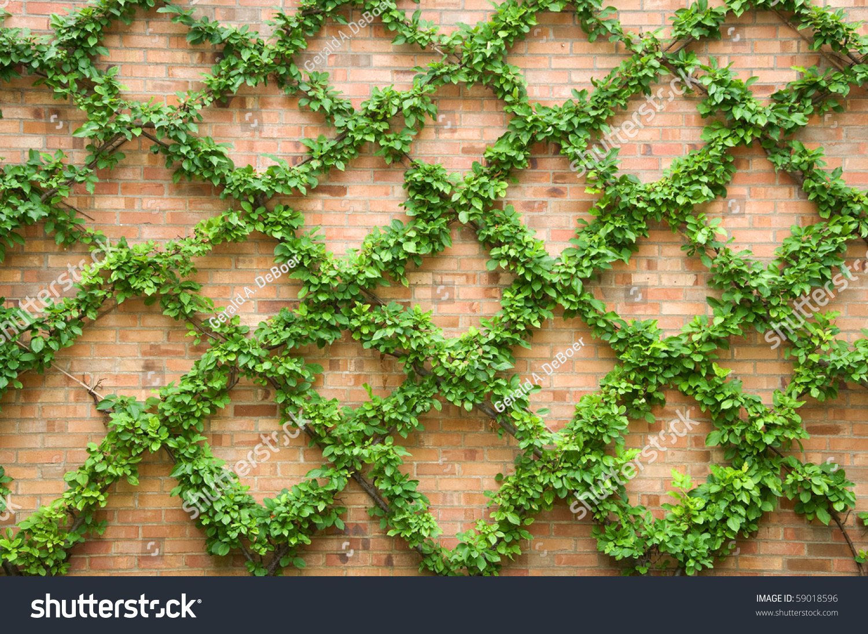 Trained Vines Climbing On Brick Wall Stock Photo 59018596