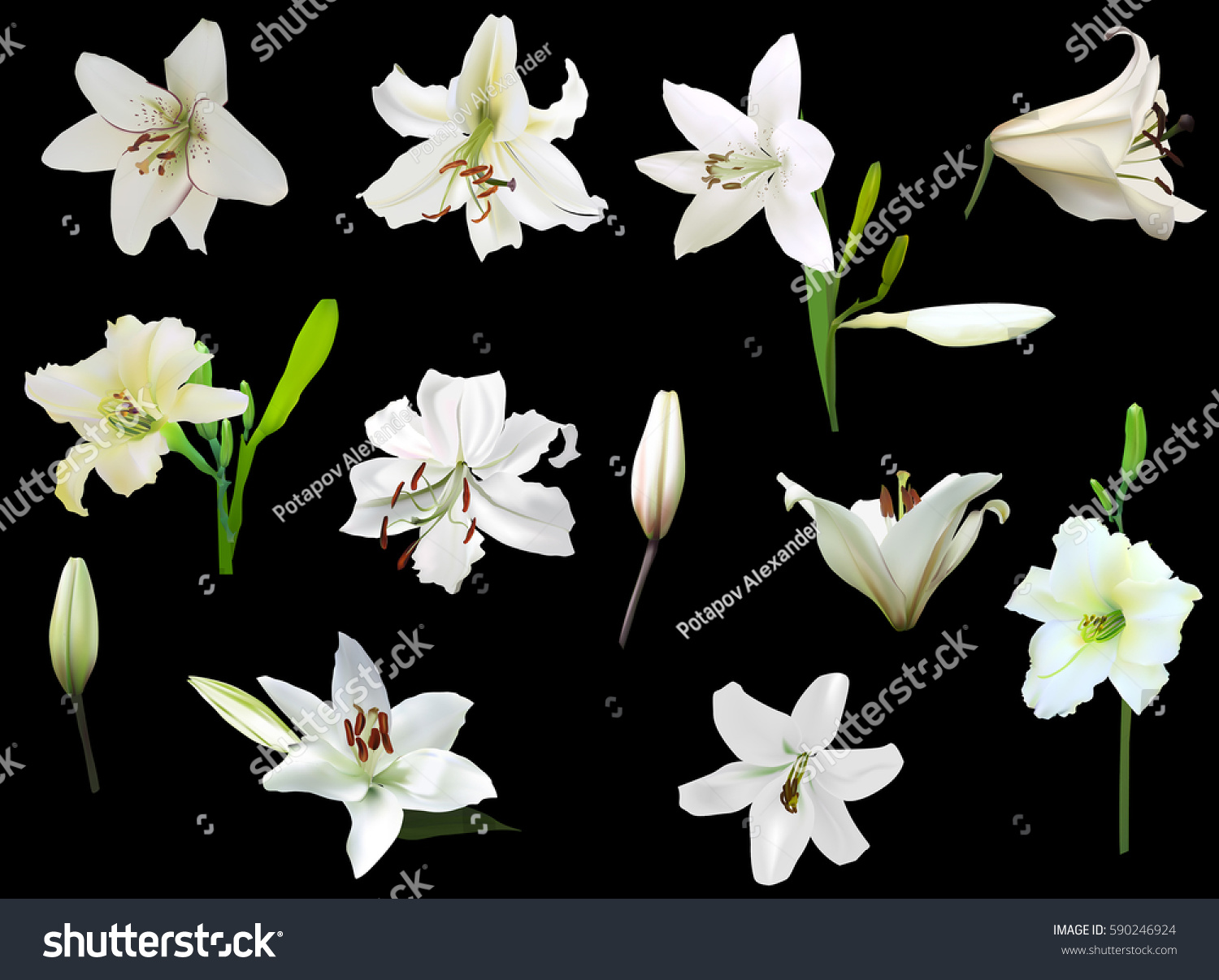 Illustration white lily flowers isolated on stock vector royalty illustration with white lily flowers isolated on black background izmirmasajfo