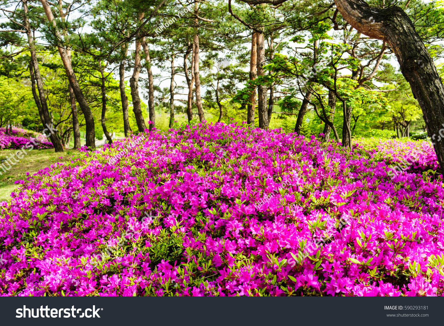 The azaleas burst into blossom of pine trees ez canvas id 590293181 mightylinksfo