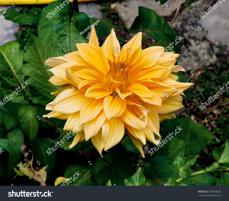 Beautiful Orange Dahlia Flower In The Garden Ez Canvas