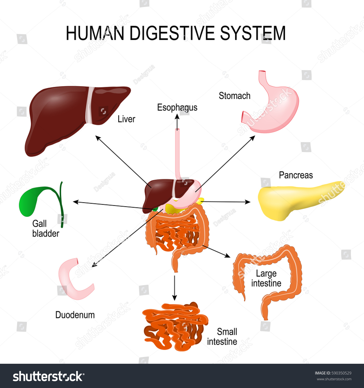 Human Digestive System All Parts Stomach Stock Vector 590350529 ...