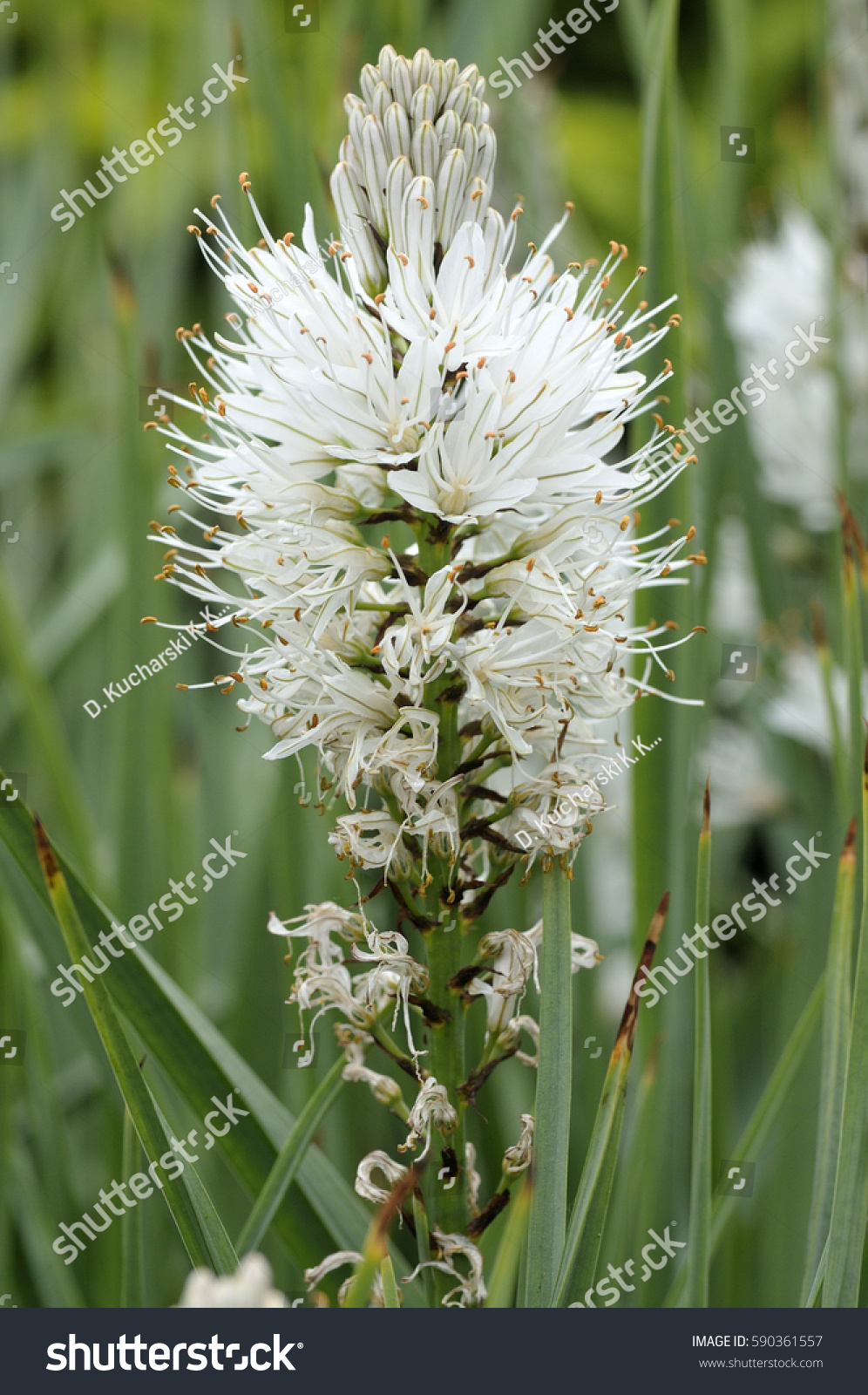 Flowers Foxtail Lily Eremurus Robustus Stock Photo Edit Now