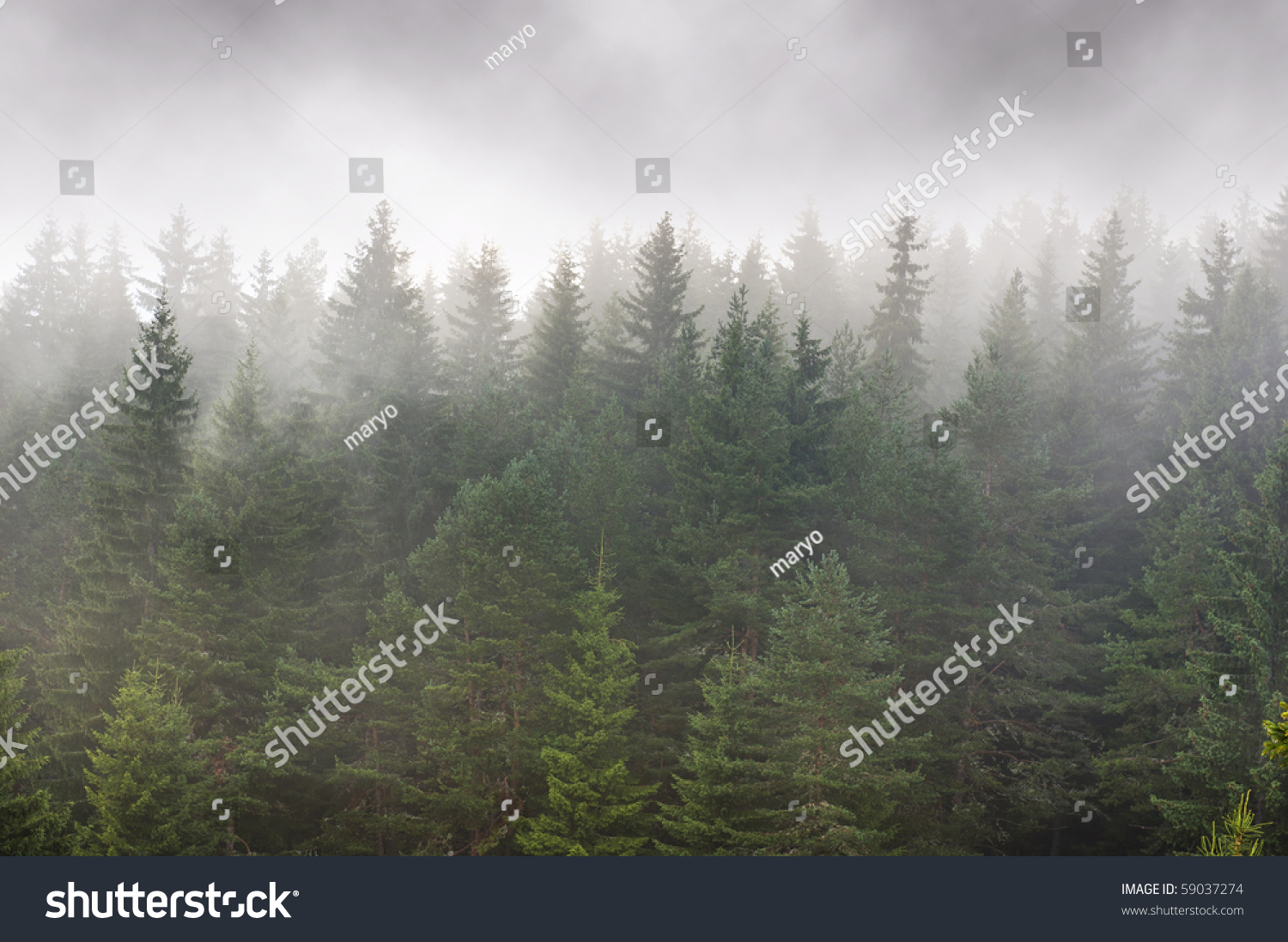 Pics For Foggy Evergreen Forest Wallpaper