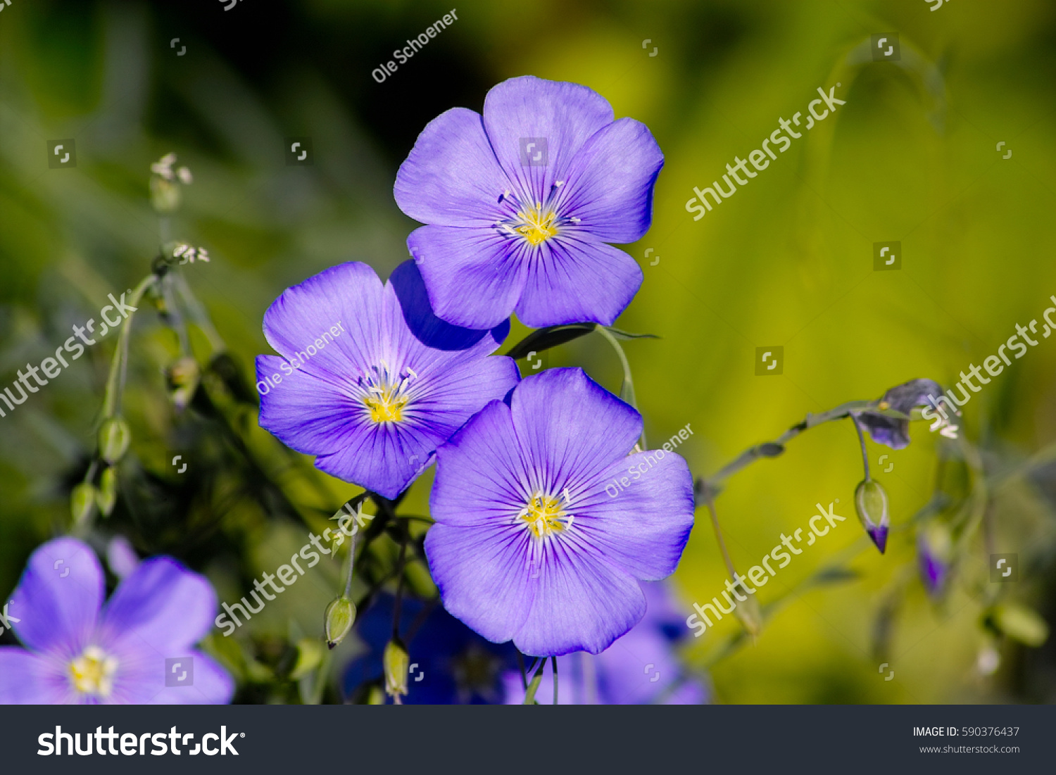 Blue Flowers Perennial Blue Flax Alpine Stock Photo Edit Now