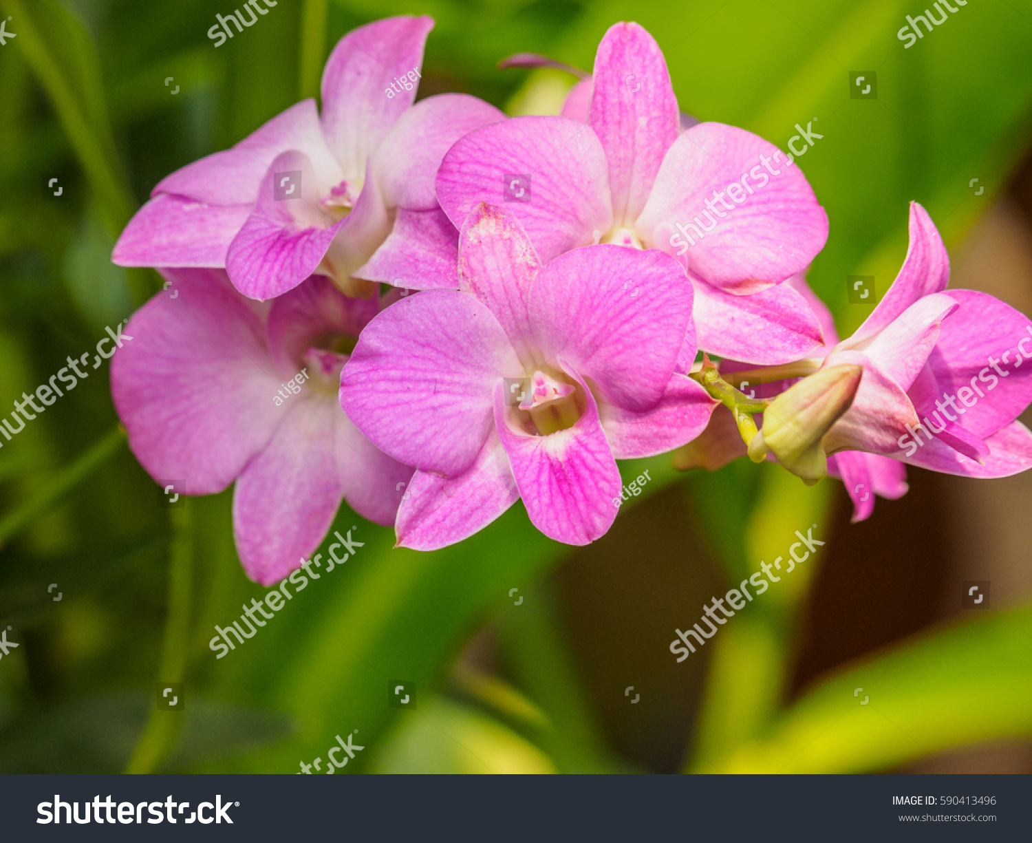 Dendrobium Orchid Beautiful Pink White Flowers Stock Photo Edit Now