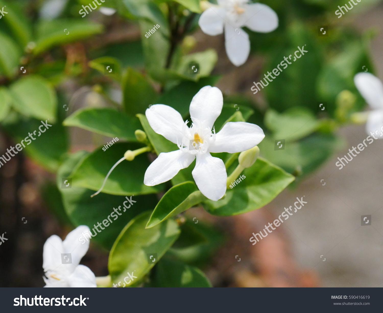 Arabian Jasmine White Angel Flower Coral Swirl Beautiful White