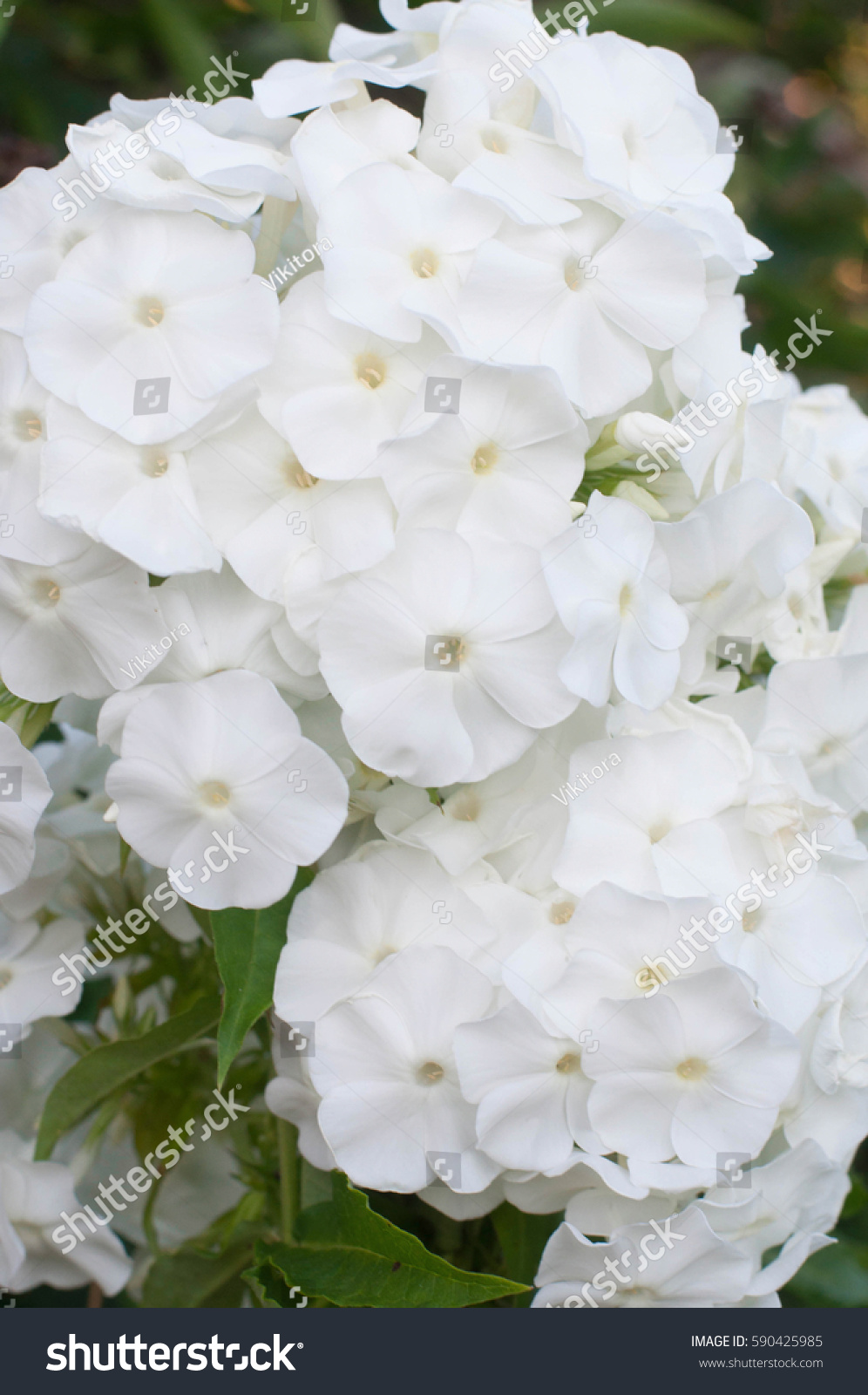 summer phlox bloom stock photo 590425985 shutterstock. Black Bedroom Furniture Sets. Home Design Ideas