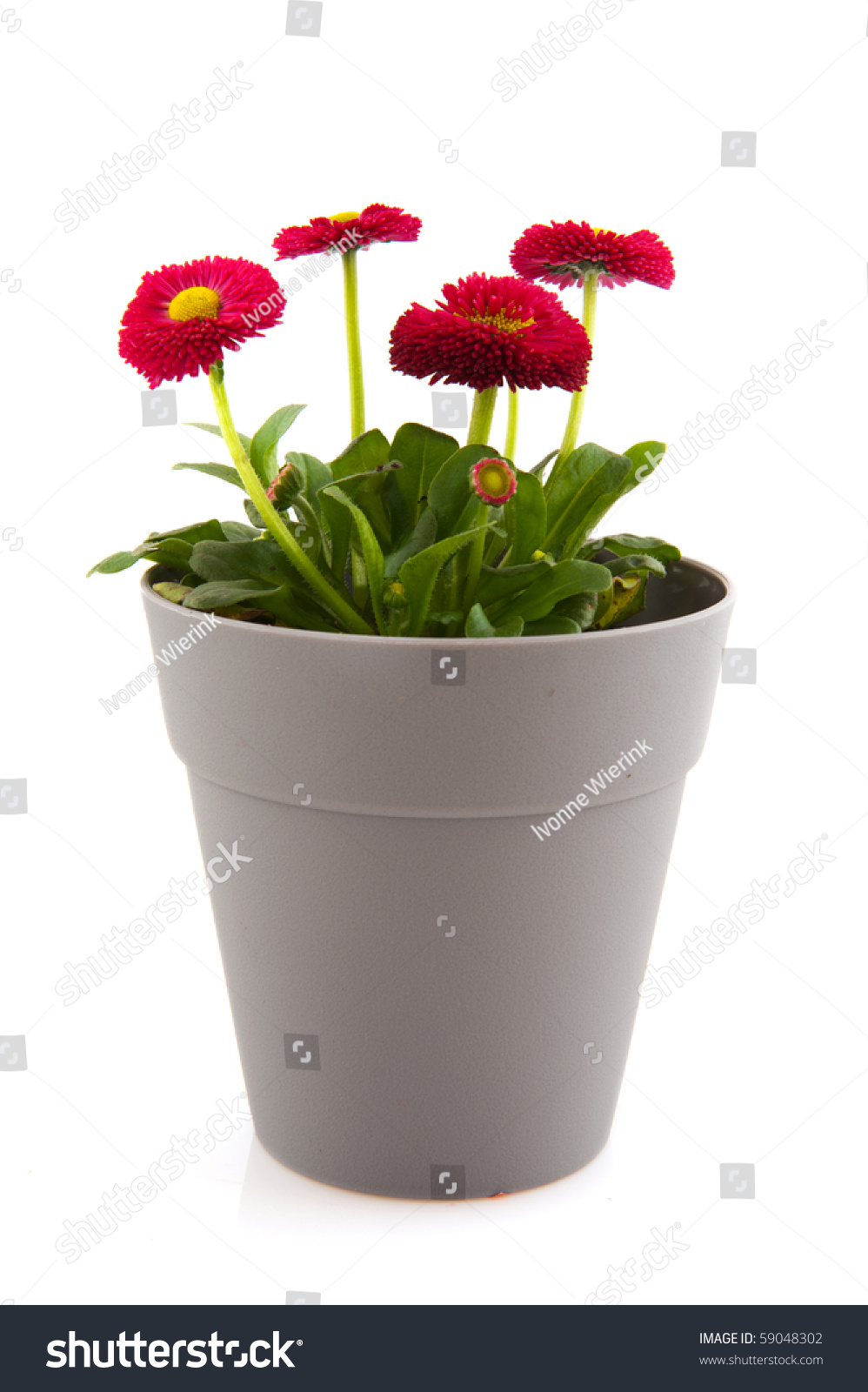Bellis Flowers In Pink Color And Gray Modern Flower Pot