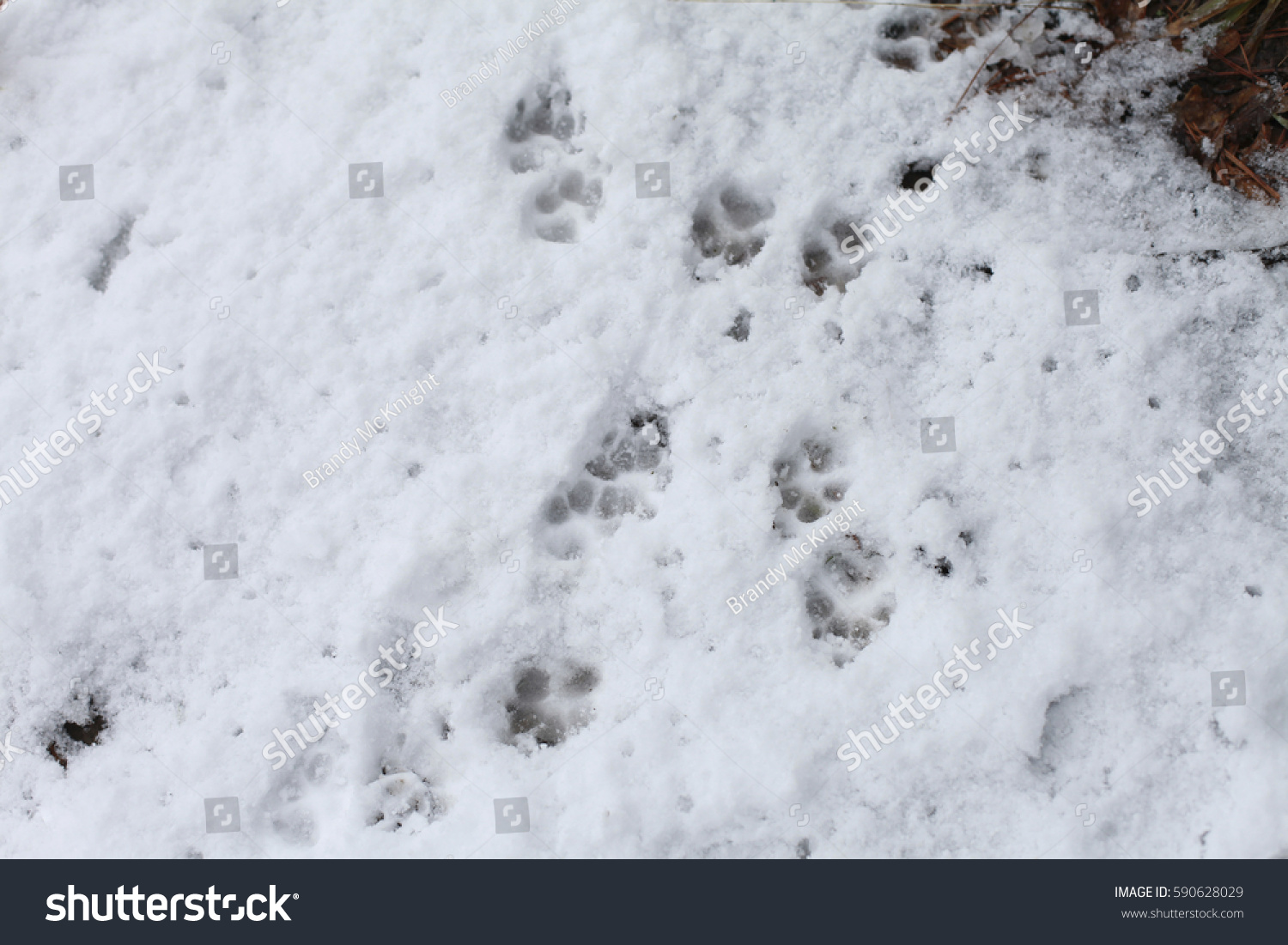 Close dog tracks snow stock photo 590628029 shutterstock close up of dog tracks in the snow publicscrutiny Choice Image