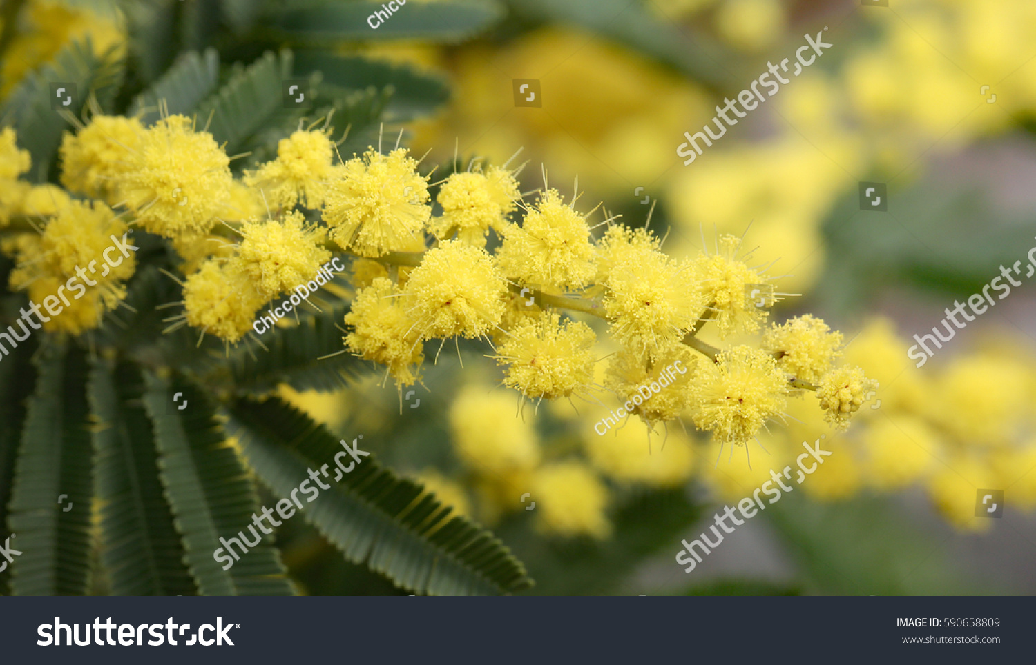 Yellow Mimosa Flowers On Plant March Stock Photo Edit Now