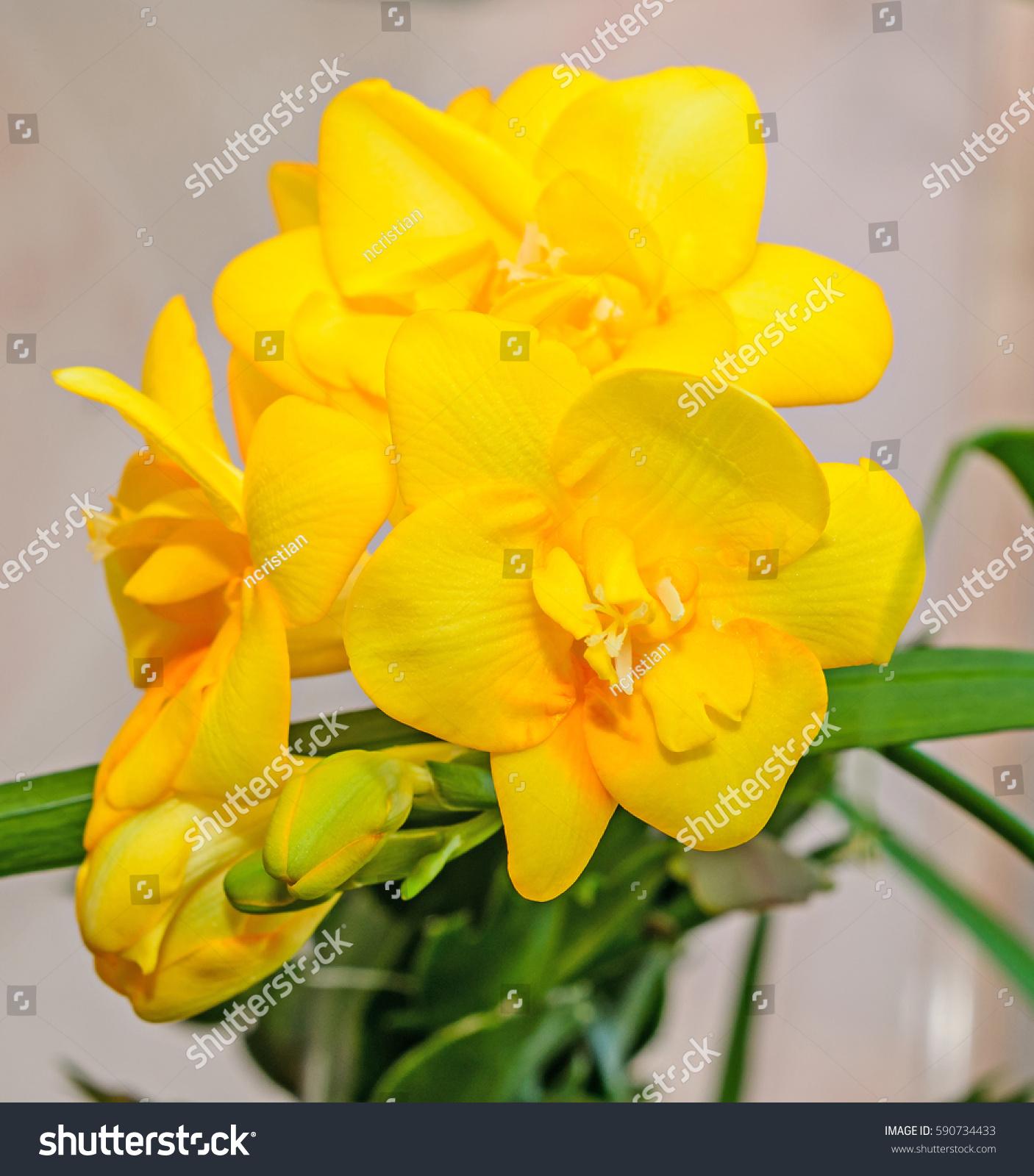 Yellow Freesia Flower Closeup Strong Bokeh Ez Canvas