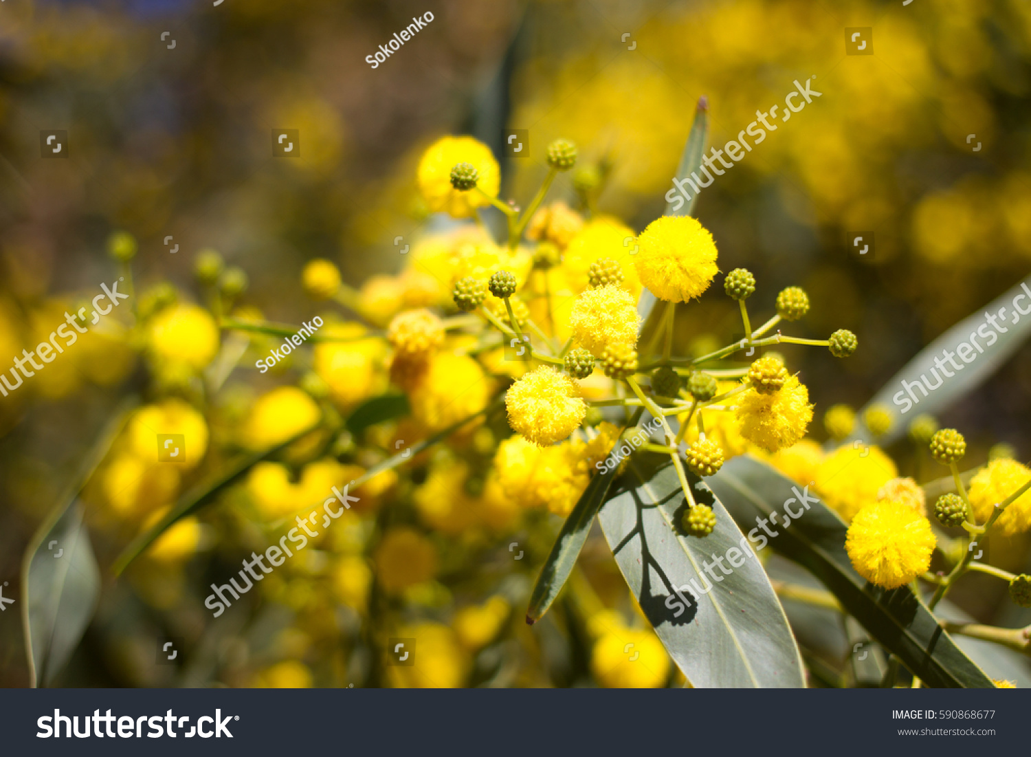 Yellow Ball Mimosa Flowers Woman S Stock Photo 590868677 Shutterstock