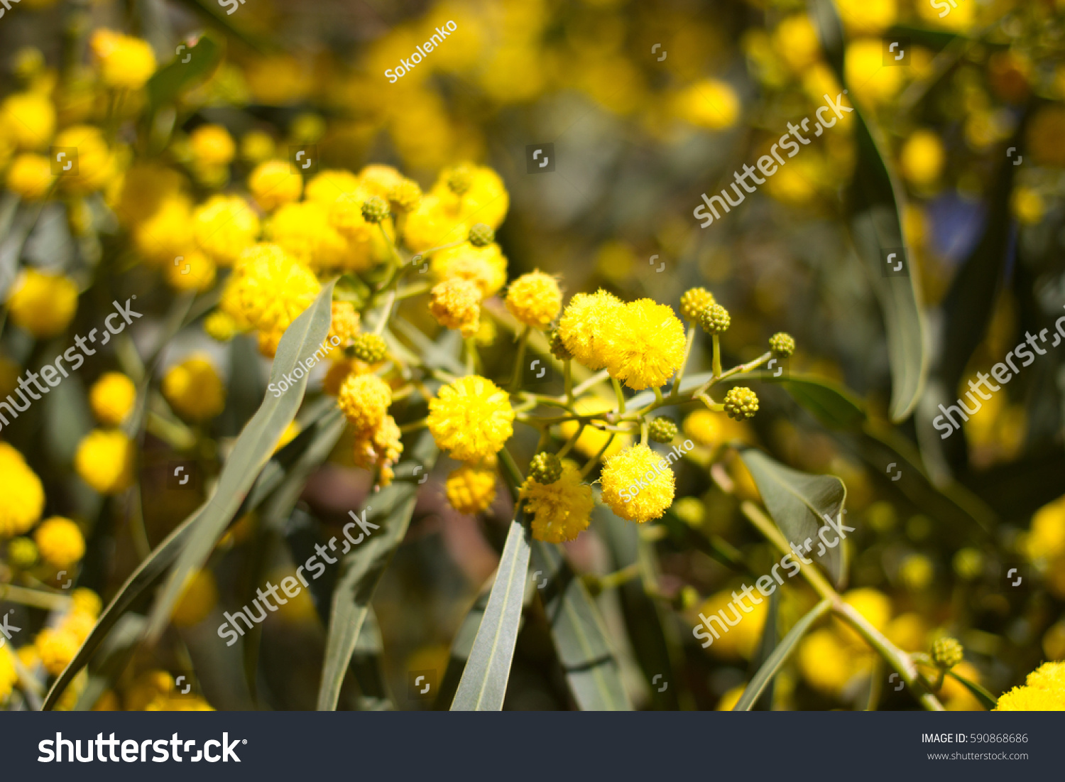 Yellow Ball Mimosa Flowers Woman S Stock Photo Safe To Use