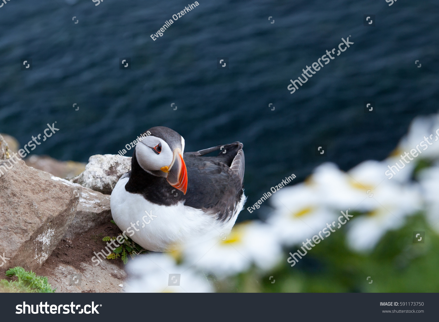 stock-photo-puffin-in-grass-on-backgouun