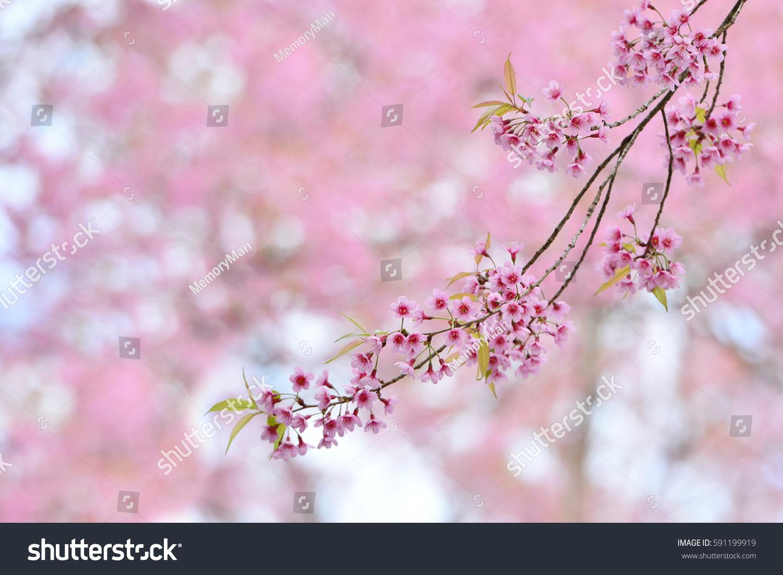 Sakura Pink Flower Background Ez Canvas