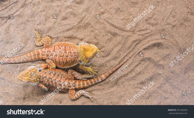 Image Bearded Dragon Pogona Vitticeps On Foto de stock (libre de ...