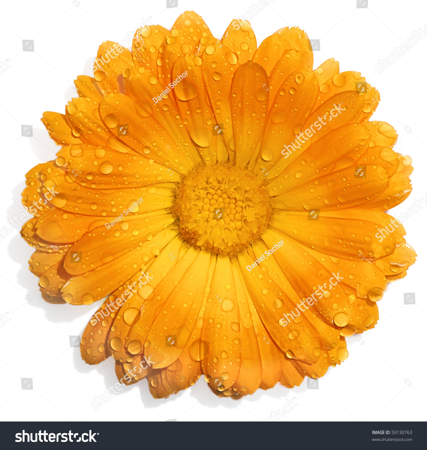 Orange Flower With Water Drops Isolated White Stock Shutt