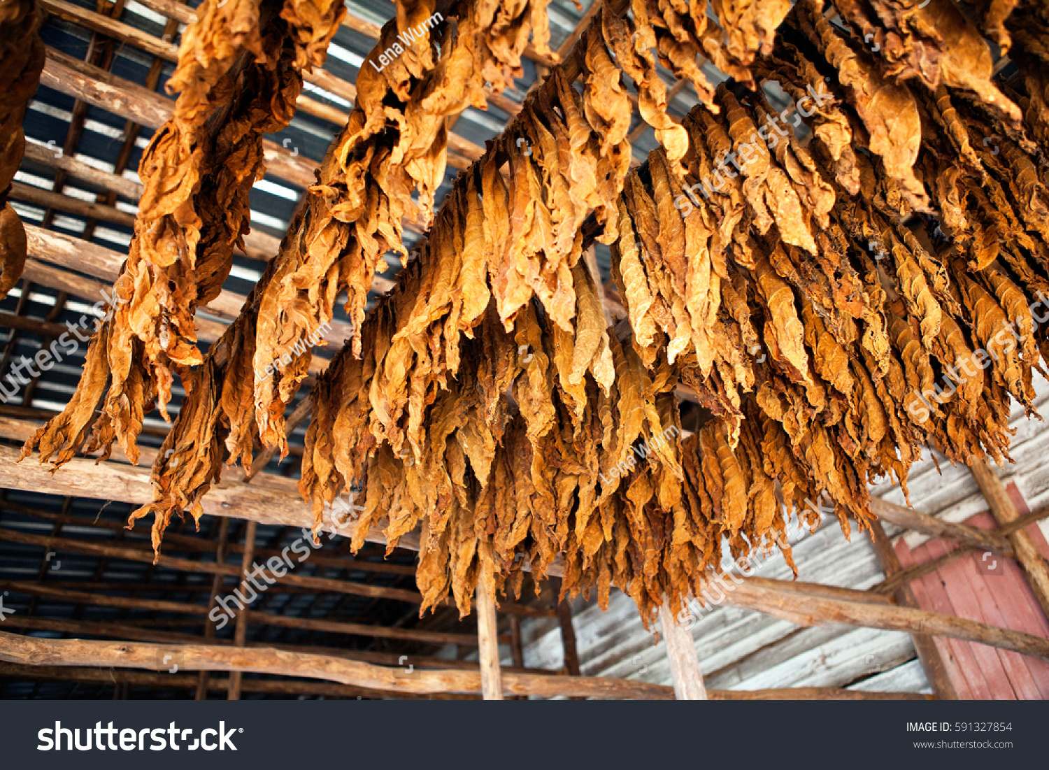 Tobacco Leaves Classical Way Drying Tobacco Stock Photo Edit Now 591327854