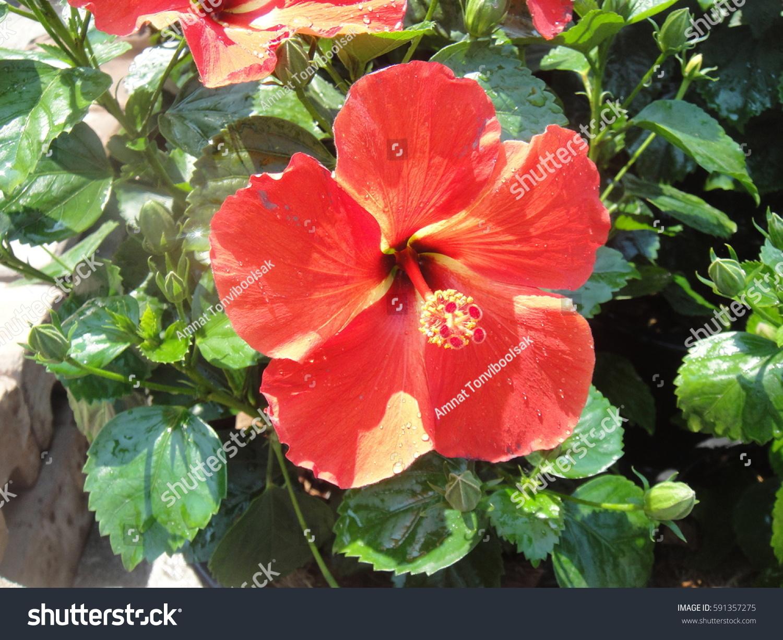 Red Hibiscus Flower In The Garden Ez Canvas