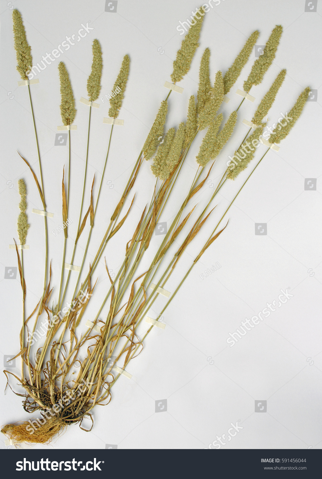 Herbarium sheet alopecurus foxtail grass family stock photo 591456044 shutterstock - Model herbarium ...