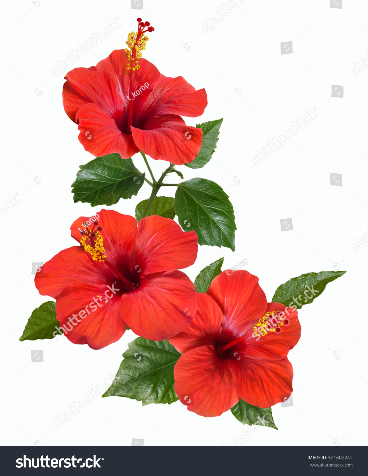 Bright Large Flowers Buds Red Hibiscus Stock Photo Edit Now