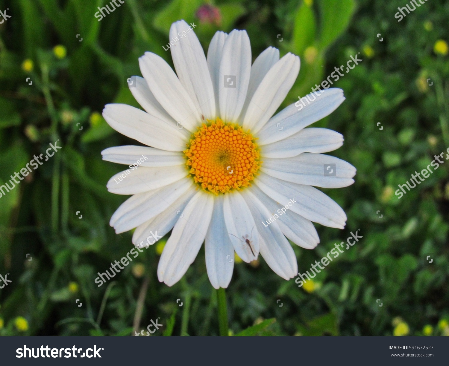 White Color Daisy Scientific Name Bellis Perennis In The Garden