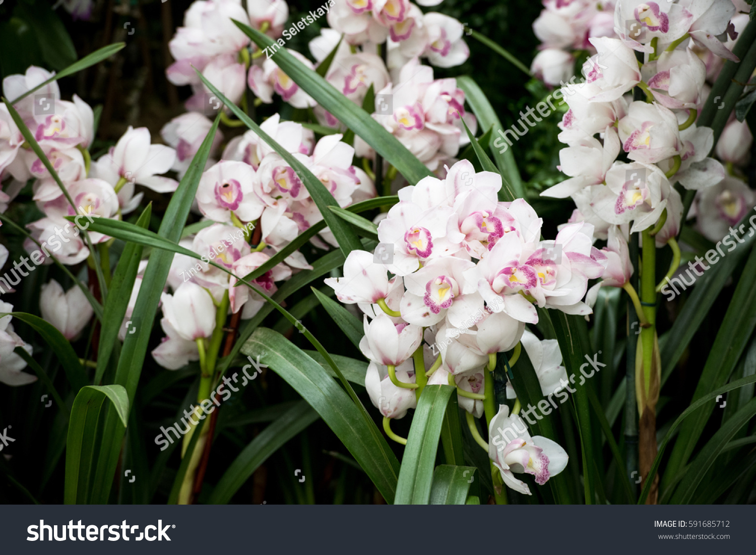 Beautiful frafile blooming praying angels orchids stock for Praying angel plant